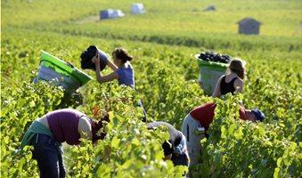 wineharvest1