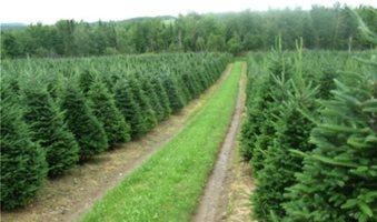 Από τον Ταξιάρχη το 75% των χριστουγεννιάτικων ελάτων