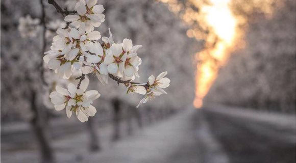 Almond-Bloom