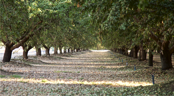 Almond_Orchard_2