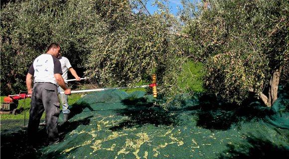 Amazing-Villas-In-Crete-Picking-olives