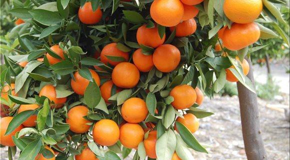 6-portokalia