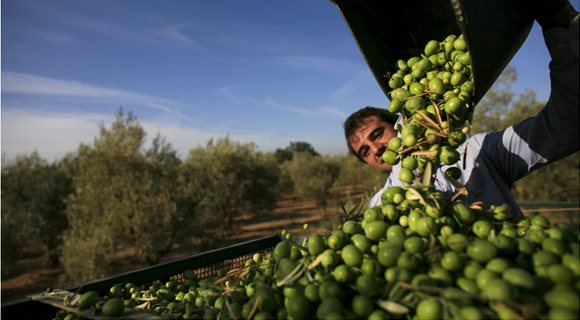 OLIVE-CULTIVATION-IN-TURKEY-1