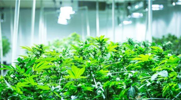 cannabis_4