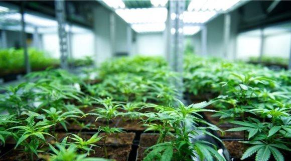 cannabis_5
