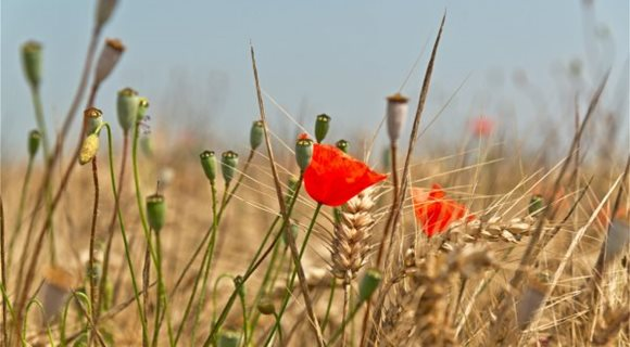 depositphotos_64078709-stock-photo-red-poppies-in-a-wheat