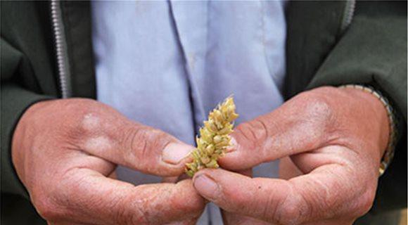 Στα 9,5 ευρώ το στρέμμα το πριμ για το σκληρό σιτάρι του 2013
