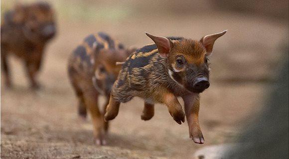 hero_wild_swine_animals