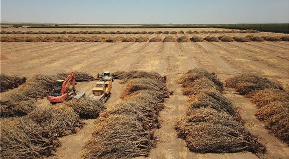 uprooted-almond-trees