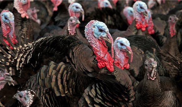turkey-farm-bird-flu