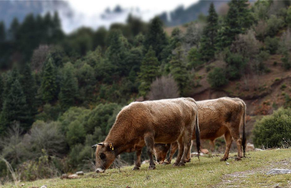 βοοειδη_εκτροφη