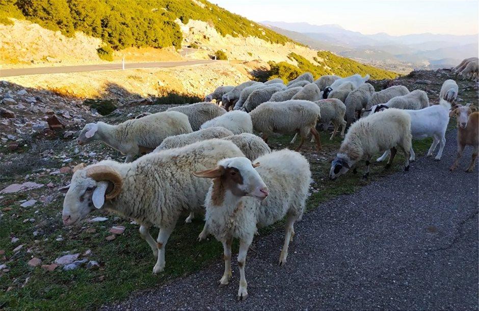 προβατα-εα-2