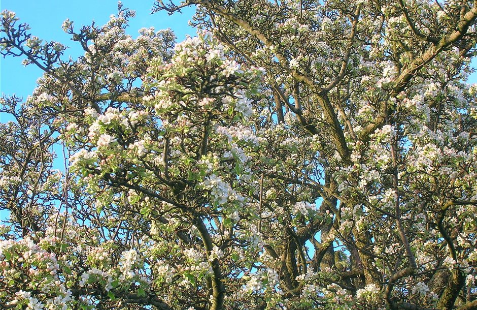 1200px-Wild_Pear_Tree_in_full_blossom