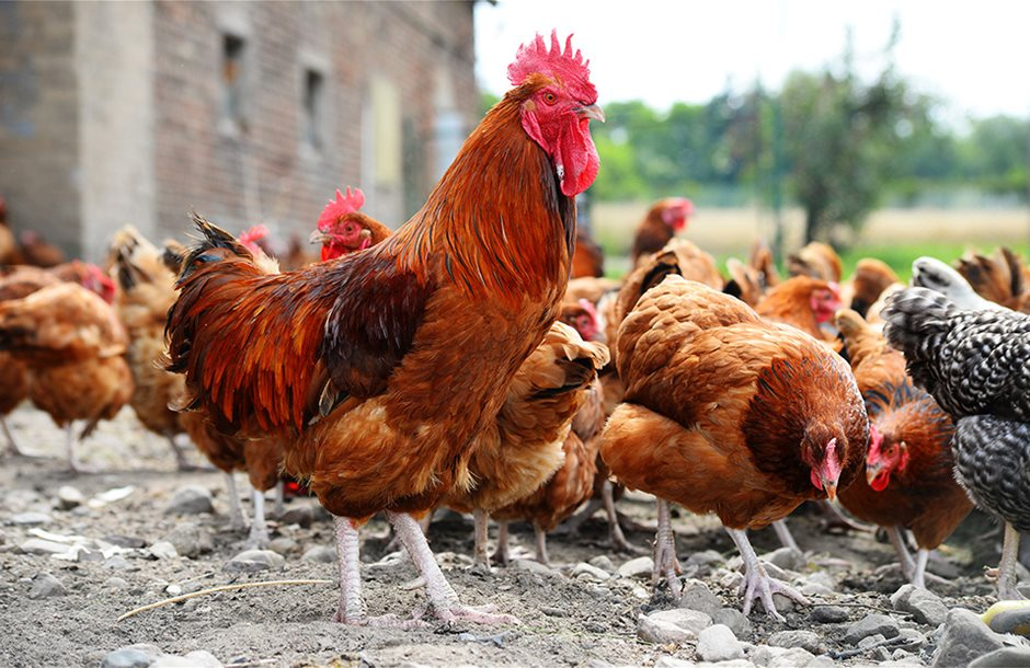 52435-chicken-farm-of-the-cock-and-the-hen