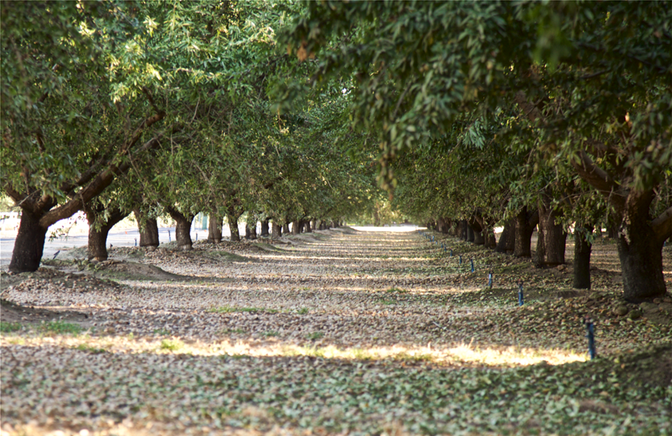 Almond_Orchard