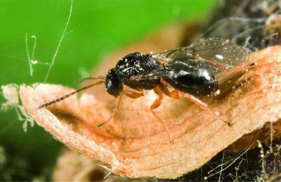 Dryocosmus_kuriphilus-sfika-kastanias