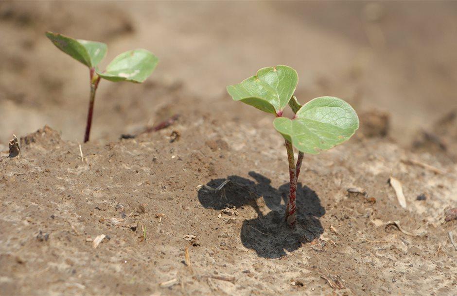 IMG_9791-cotton-plants