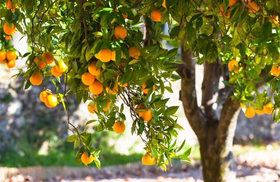 Orange-tree_shutterstock_126246674-scaled