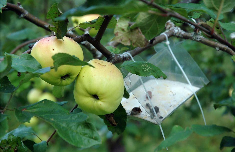 apple-pests
