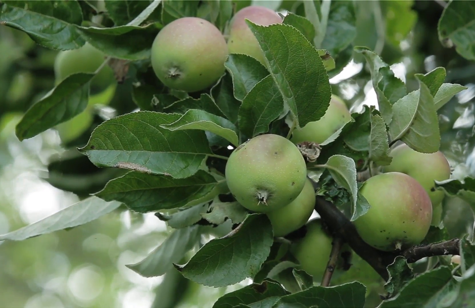 apples-on-apple-tree-branchesgreen-young-apples-on-a-branch-of-apple-tree-in-the-garden_4fhhvrglx__F0000