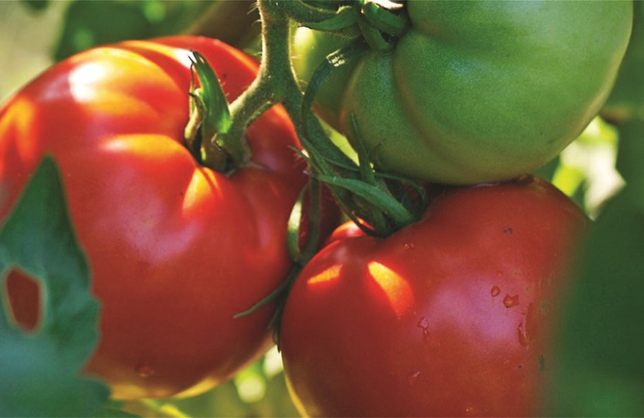 better_boy_tomato_plant_494_detail