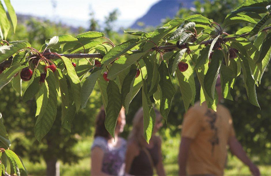 cherry-picking-west-kelowna