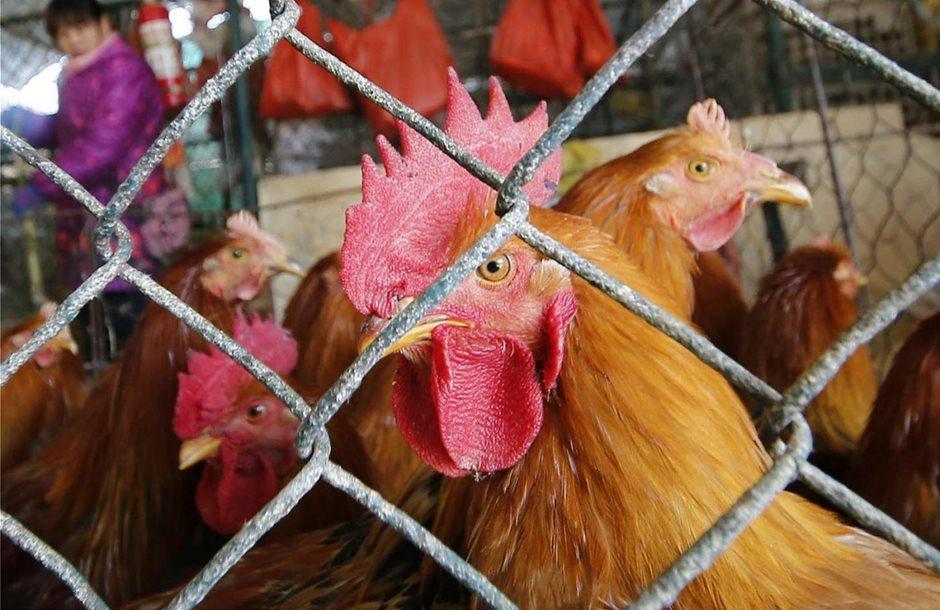Παραγωγή κρέατος πουλερικών, περιβαλλοντικά φιλική, ανέπτυξε το ΤΕΙ Ηπείρου