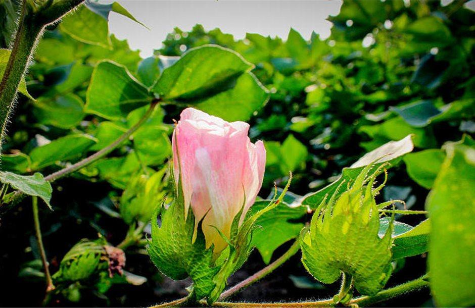 cotton-blossom-jim-raines