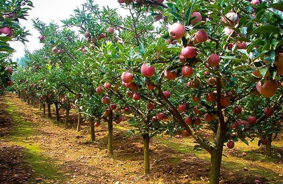 fuji-apple-tree-2