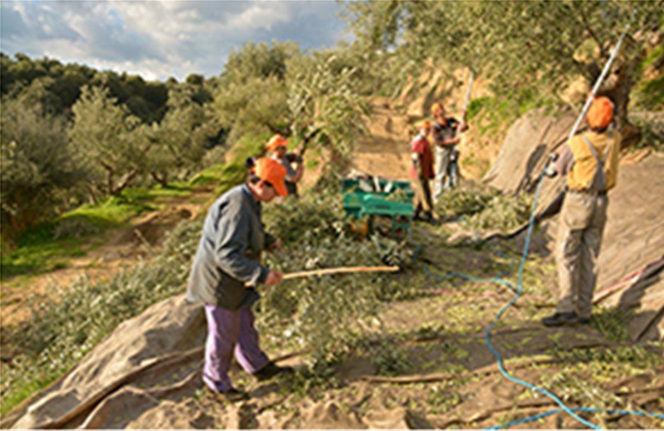 Με 100 μέλη και 2.500 στρέμματα οι οργανώσεις παραγωγών στις ελιές