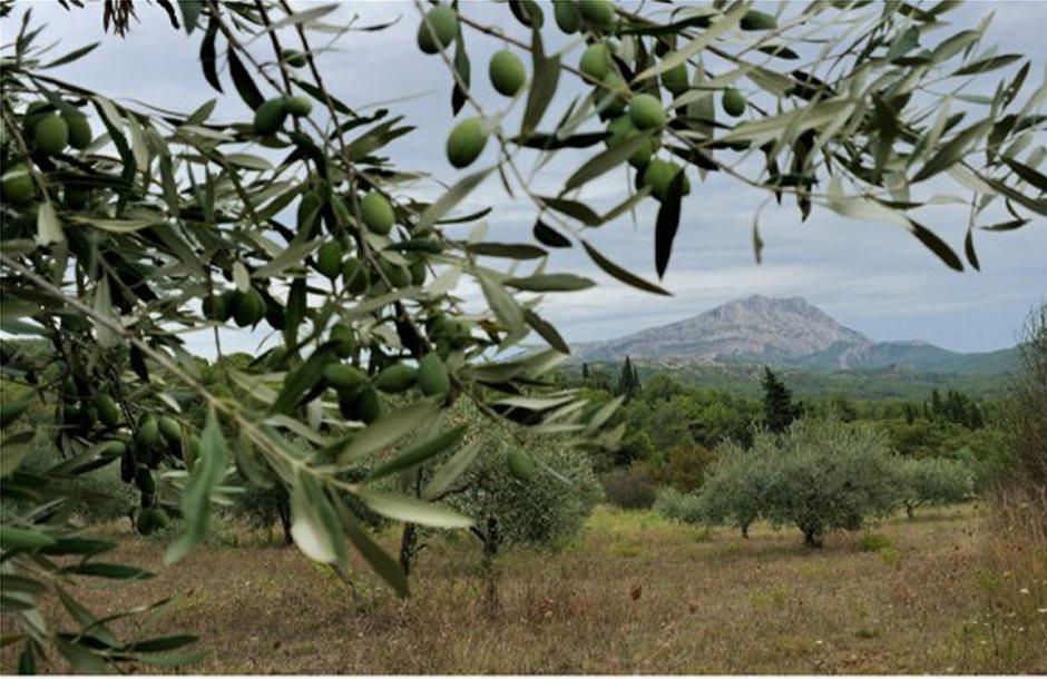 Στέγνωσαν τα λιόδεντρα στην Κρήτη