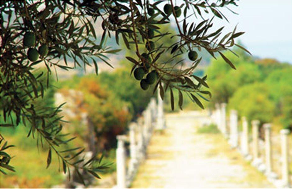 Σταθερή αξία η ελληνική ελιά