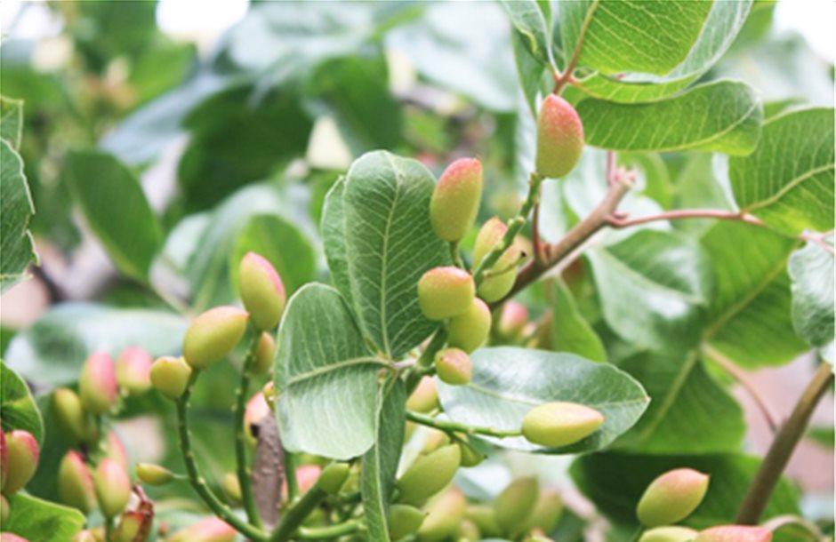 Πρώτα ίχνη ψύλλας στις φιστικιές της Θεσσαλίας