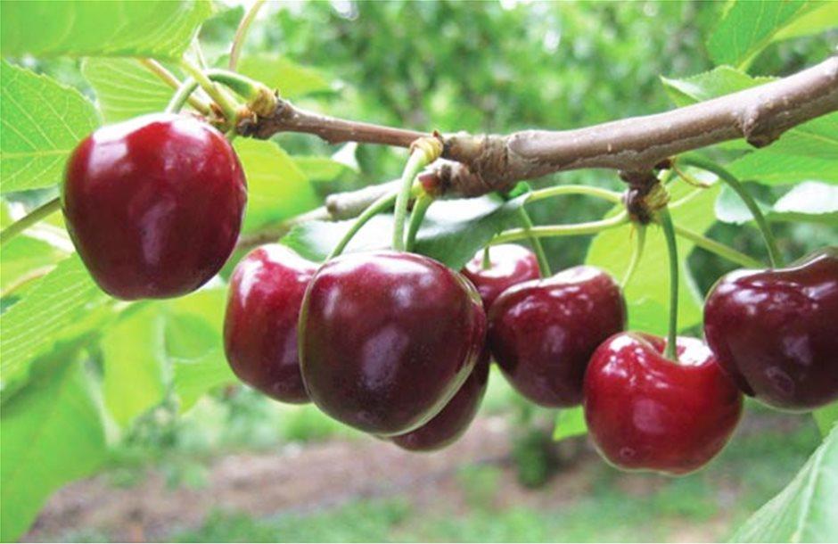 Κάθε χρόνο νέα δένδρα στην καλλιέργεια της κερασιάς