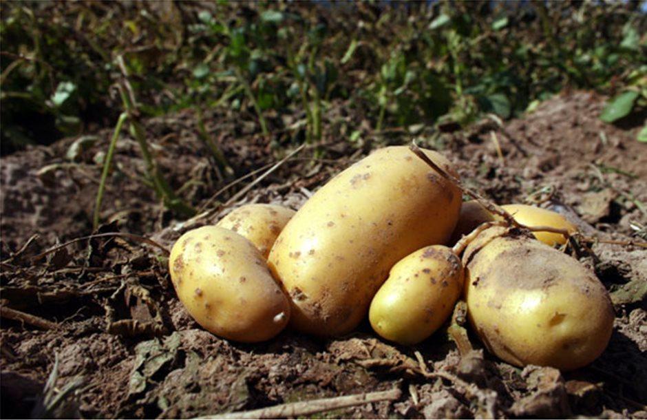 Μπαίνει σε καραντίνα και η πατάτα