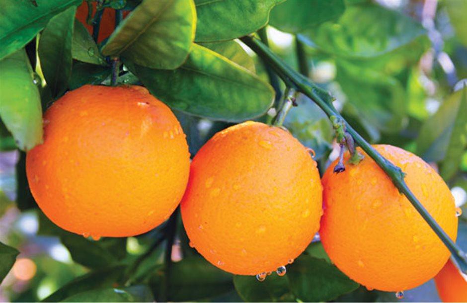 Εντατικοί οι έλεγχοι στα πορτοκάλια