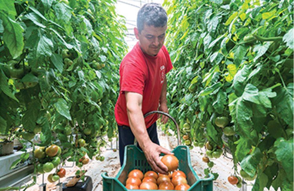 Η beef ντομάτα πουλάει όταν κολλάει η αγορά