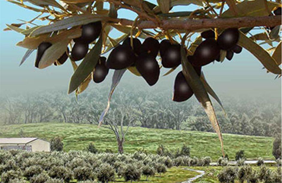 Κατά 211% αυξήθηκε η παραγωγή ελιάς την 30ετία