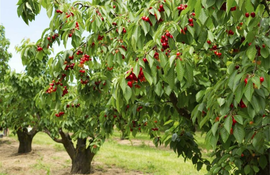 kerasia-cherry-tsesmelis-fytorio-758x520
