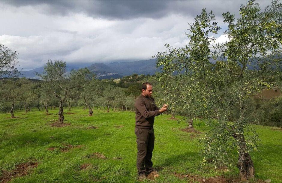 la-nouvelle-recolte-des-olives