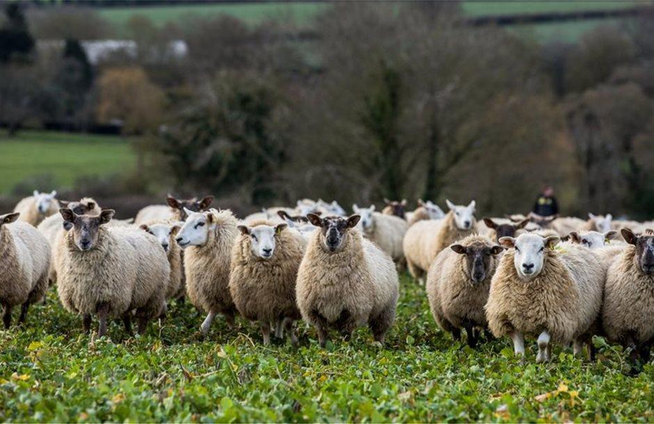 lambs1
