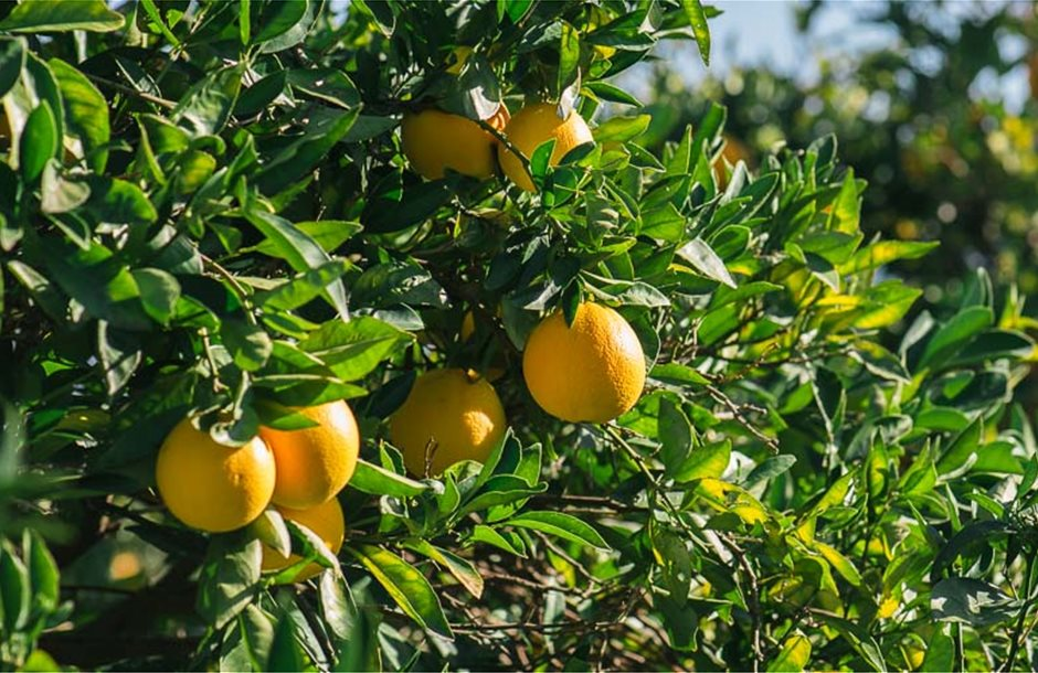 michaliskoulieris-kalliergeia-portokalias