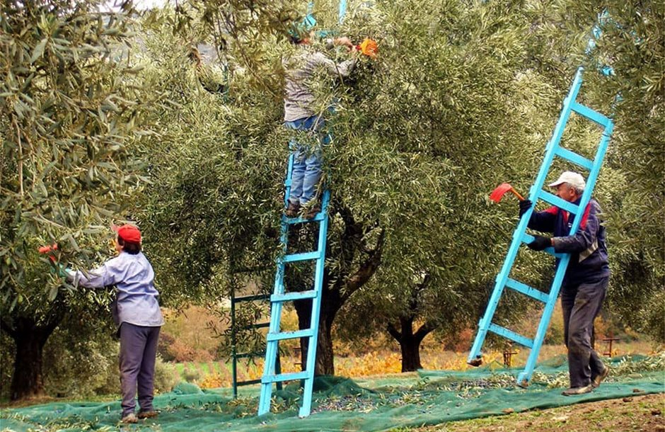 nov-dec-intro-olive-harvest