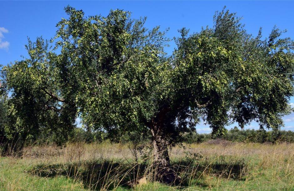 olive-tree-2846490_1920-1080x675