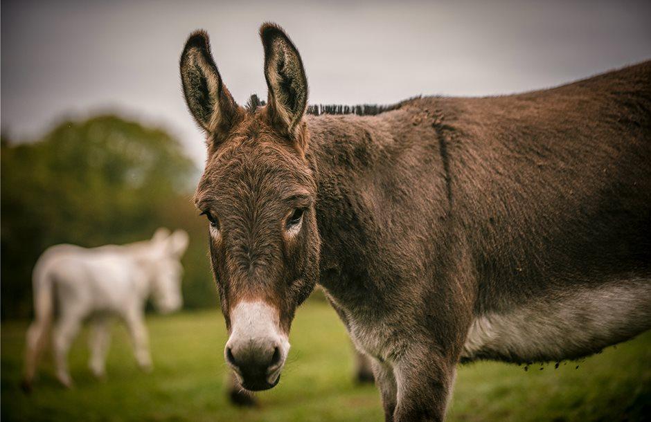 paccombe-donkey