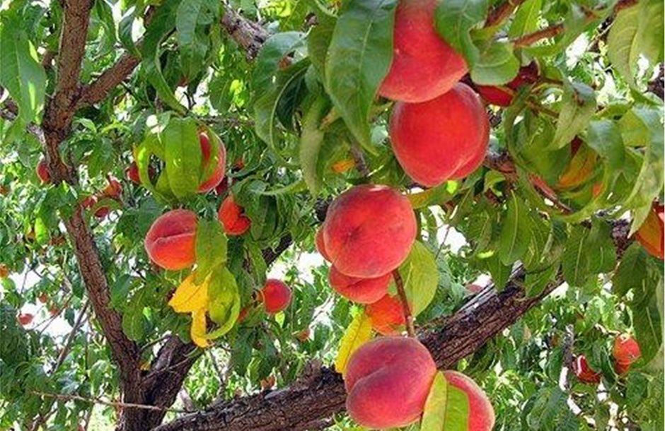 peach-tree-w-fruit