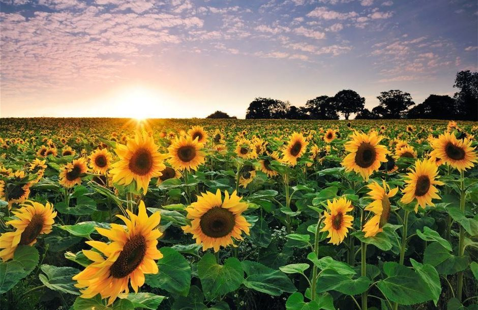 sunflower-at-sunset-royalty-free-image-1571951893