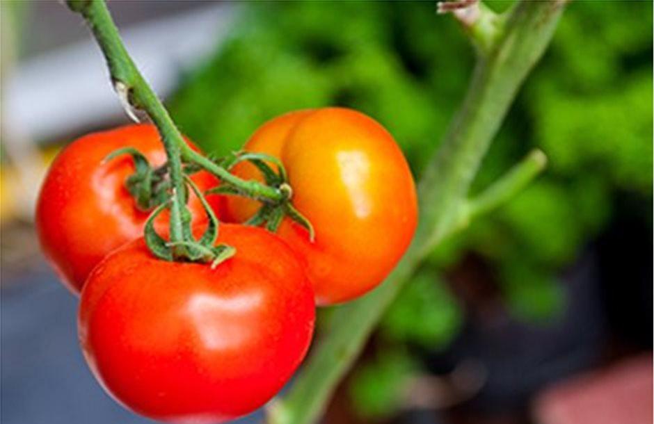 Έπιασαν κλαδοσπόριο οι υπαίθριες ντομάτες της Θεσσαλίας
