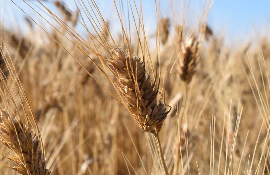 wheat-1452198_960_720