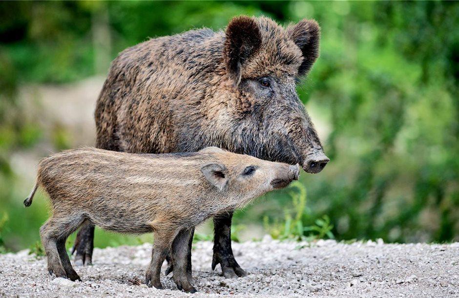 wild_boar_pigs_1600